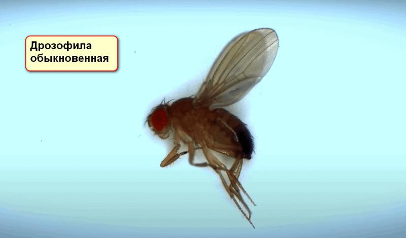 Как избавиться от мушек дрозофил в квартире